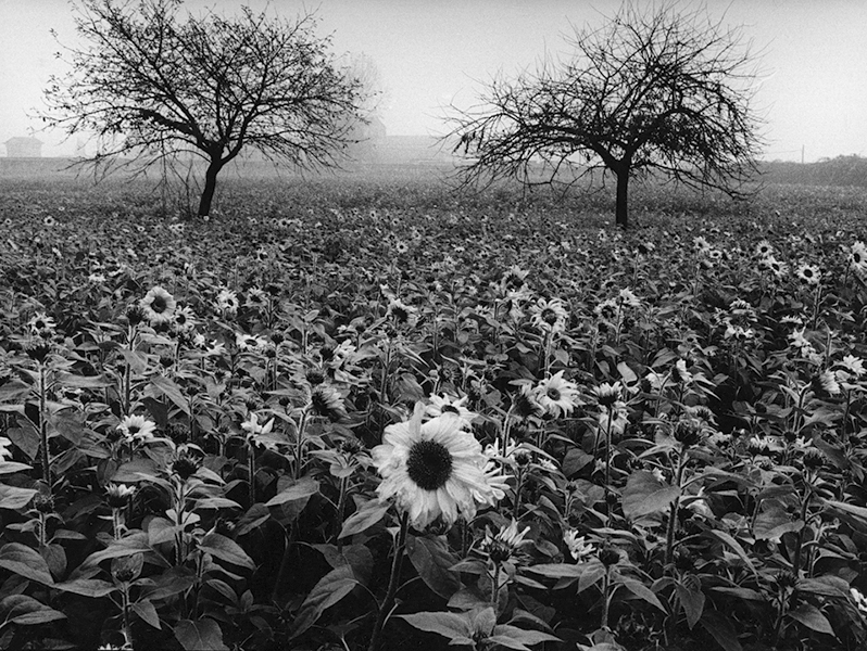 Sunflowers, 1998